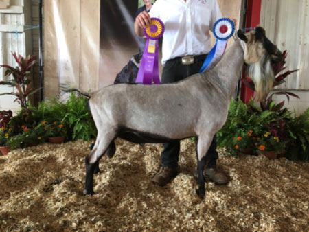 CH Sycamore-Acres MC Phineas Chaz *B
